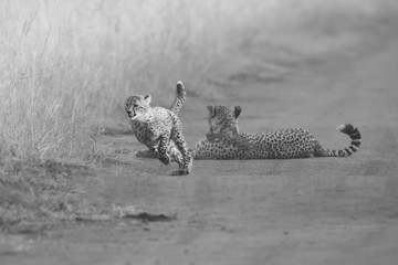 Cheetah cubs playing with a mother in the background in artistic conversion
