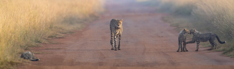 Female cheetah looking after three cubs playing in a road