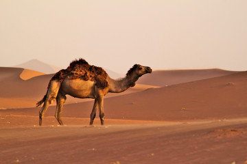 Single camel walking on dunes on a desert. Camel wool on his back.