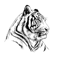 big tiger painted with ink by hand on a white background logo predator
