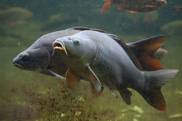Wild common carp (Cyprinus carpio)