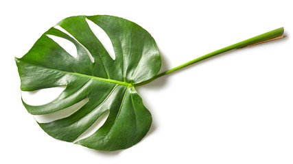 leaf of monstera plant