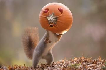 squirrel with head inside an pumpkin