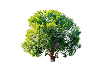 tropical tree in asia  isolated on white background