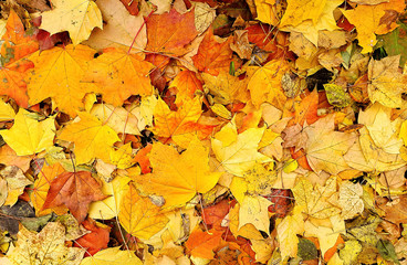 Bright autumn background from fallen leaves of maple