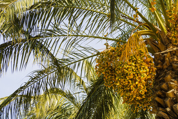 Clusters of ripe dates on a Date Palm.