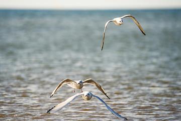 Lachmöwe beim Flug über die polmische Ostseeküste