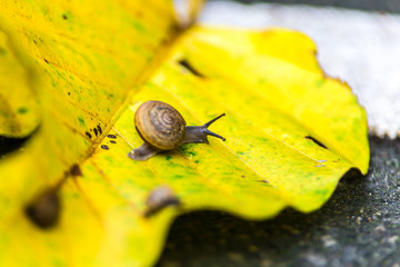 Snail on the yellow leaves