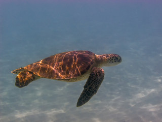 green sea turtle,Chelonia mydas