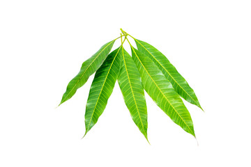 mango leaves isolated on white background.
