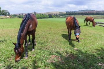 Horses Three Field Outdoors