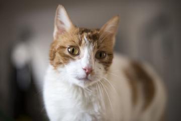 Gato blanco y naranja en asociación de protección animal