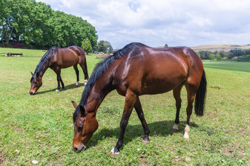 Horses Two Field Outdoors