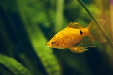 The barbus floats in the home aquarium close up. Beautiful aquarium goldfish.