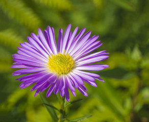 macro close up  beautiful pink violet daisy flower on green vegetation bokeh background