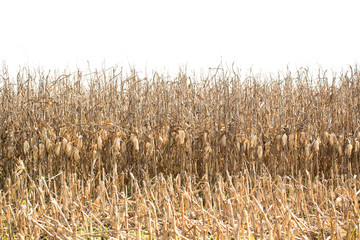 Dried Corn in a Louisiana Field