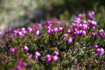 Small pink flowers growing on the rocky slopes of mount Kurodake, Daisetsuzan National Park, Hokkaido, Japan