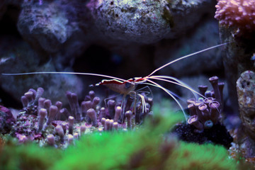 Cleaner shrimp in reef aquarium tank
