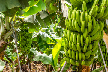 Grüne Bananenstauden auf einer Plantage