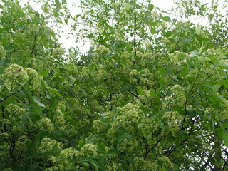 Ptelea trifoliata, ordinary hoppy, smelly ash or waffle ash ligh