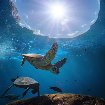 Underwater scenery with sea turtle in blue water of Pacific ocean, aquatic animals floating over coral reef