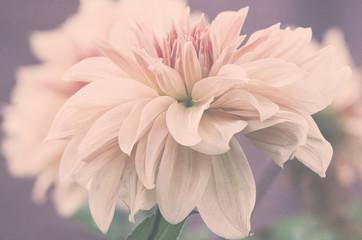 Fototapeta Piękny duży kwiat dalii, subtelne różowe płatki, ujęcie makro.  obraz