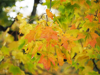 yellow leaves in the park. Autumn