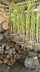 garlic shed