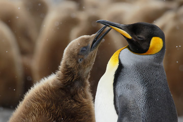 King penguin chick begging the parent for food in South Georgia Antarctica