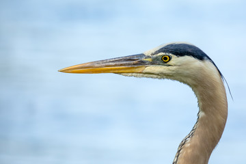 Great Blue Heron - Ardea herodias, closeup isolated side profile with blurred river water in the background.