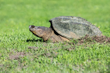 Snapping Turtle - Chelydra serpentina, a female laying eggs in a hole she dug in the grass.
