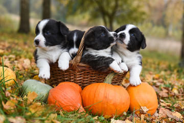 corgi puppies dogs with a pumpkin on an autumn background
