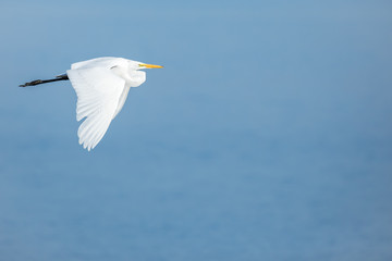 Great Egret - Ardea alba - flying over water reflecting a blue sky.