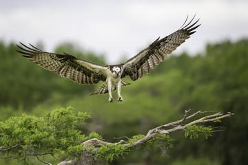 Osprey landing on a cypress tree branch in Florida Fotoväggar