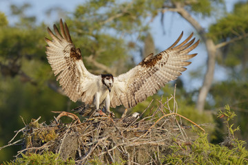 Osprey landing on a nest with chicks in Florida