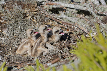Osprey chicks three days old in a nest in Florida