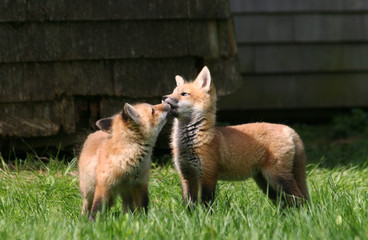 Fox Kit Kiss