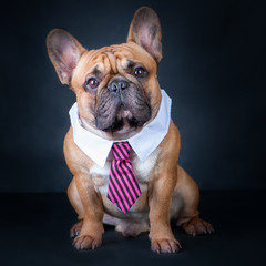 A dog, a french bulldog in a tie and a white collar. Education, training of dogs. Boss, manager.
