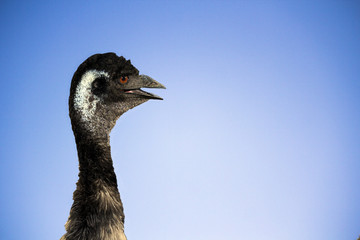 Emu on Blue