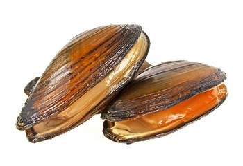 River mussels isolated on a white background