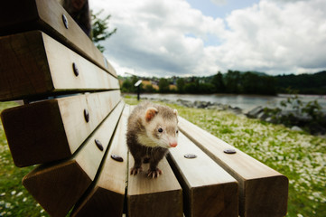 Ferret outdoor portrait on wood bench