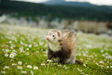 Ferret outdoor portrait in field with spring flowers