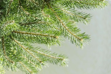 conifer tree branches