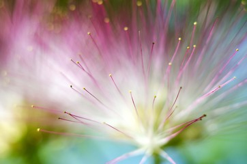 albizia tree flower