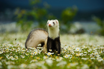 Ferret outdoor portrait in grass and flowers
