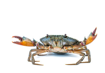 Scylla serrata. Mud crab isolated on white background with copy space. Raw materials for seafood restaurants concept.