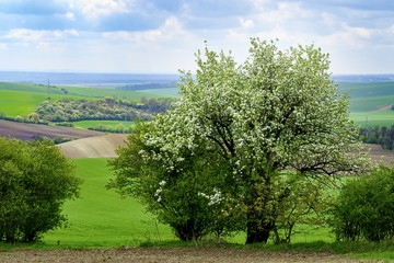 Beautiful fairytale landscape. Blooming tree in the spring.  Moravian Tuscany.