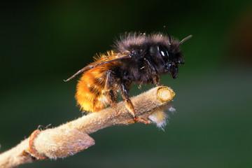 Foto op Textielframe Bee Wild solitary bee Osmia cornuta