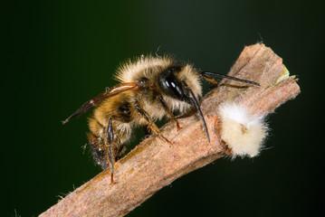 Osmia rufa, mason bee, pollinator