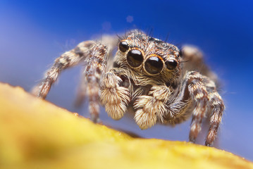 Jumping spider close up. Macro photography. Portrait of spider